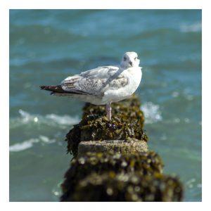 Gull on Breakwater Card